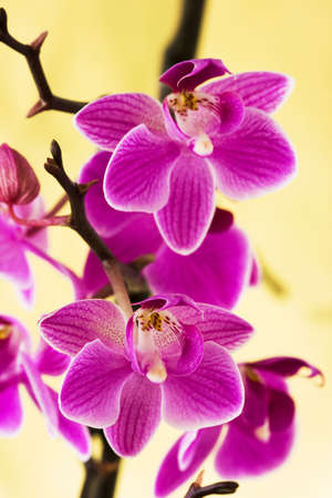 purple orchid: pink orchids on yellow background  Stock Photo