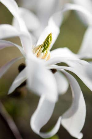 White magnolia on a branch photo