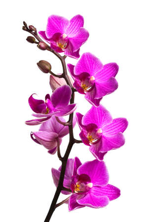 orchids: Orchidea isolato su sfondo bianco  Archivio Fotografico