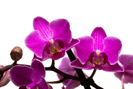 orchid isolated on white background  Stock Photo - 7641699