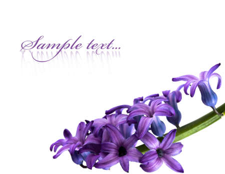 violet: violet flowers isolated on white background