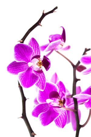 orchid isolated on white background Stock Photo - 7964400