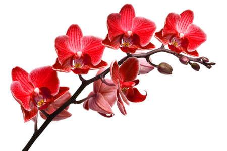 phalaenopsis: orchid isolated on white background