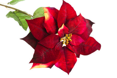 feliz navidad: Christmas flower poinsettia isolated on white background  Stock Photo