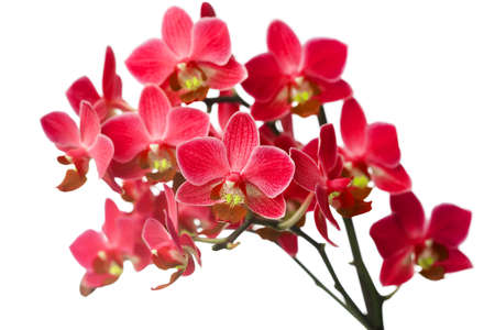 pink orchid: orchid isolated on white background Stock Photo