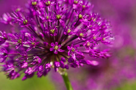 abstract violet flowers on field (shallow DOF) Stock Photo - 14325044