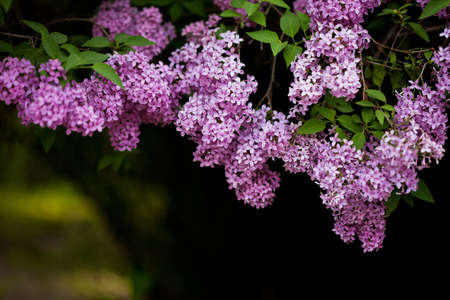 bunch of violet lilac flower (shallow DOF) Stock Photo - 14325244