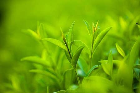 dof: fresh and green leaves (shallow DOF)