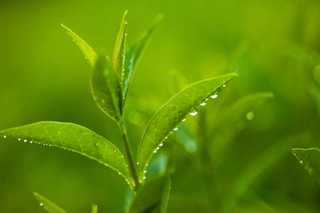 fresh and green leaves with drops of water (shallow DOF) Stock Photo