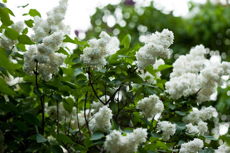 ornamental bush: bunch of white lilac flower (shallow DOF)