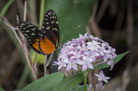 longwing: Heliconius hecale Butterfly on flowers