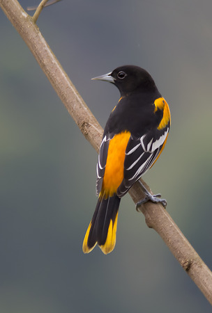 oriole: Baltimore Oriole Male perched on a branch Stock Photo