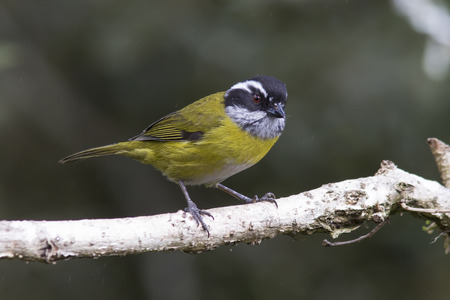 capped: Sooty-capped Chlorospingus perched on a branch Stock Photo