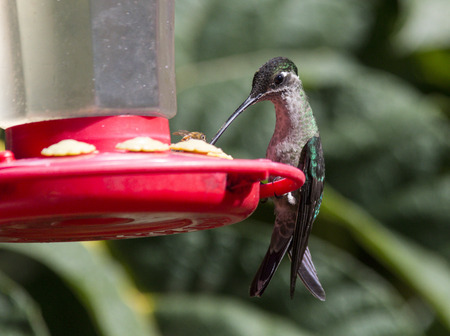 and the magnificent: Female Magnificent Hummingbird on a feeder Stock Photo