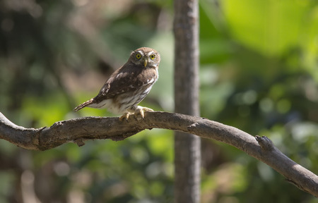 ferruginous: Ferruginous Pygmy-Owl perched on a branch