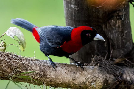 perched: Crimson-collared Tanager perched on a branch