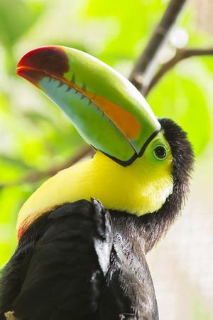 keel: Keel-billed Toucan Portrait head shot closeup