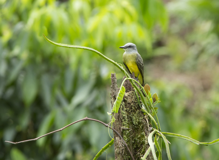 perched: Tropical Kingbird perched on a stump