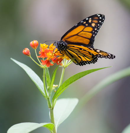 plexippus: Monarch, Canaus plexippus sucking nectar from a flower