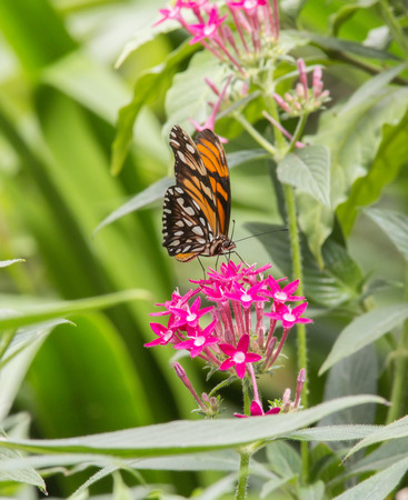 dione: Juno Longwing Butterfly eating nectar from a flower Stock Photo
