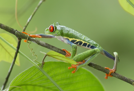 redeyed tree frog: Red-eyed Tree Frog clinging to a branch Stock Photo