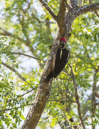 clinging: Lineated Woodpecker clinging to a tree