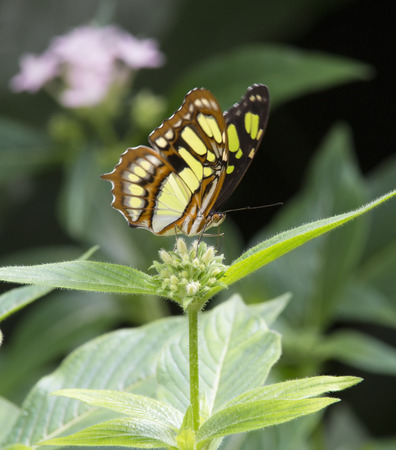 malachite: Malachite Butterfly eating nectar from a flower