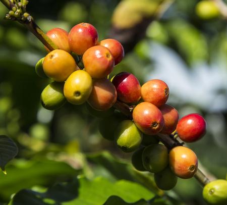 frijoles rojos: Habas del caf� ar�bica que crecen en la planta