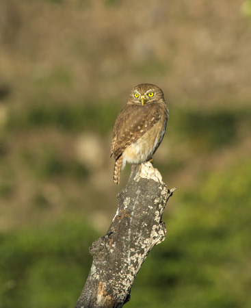 ferruginous: Ferruginous Pygmy-Owl perched on a stump hunting for food