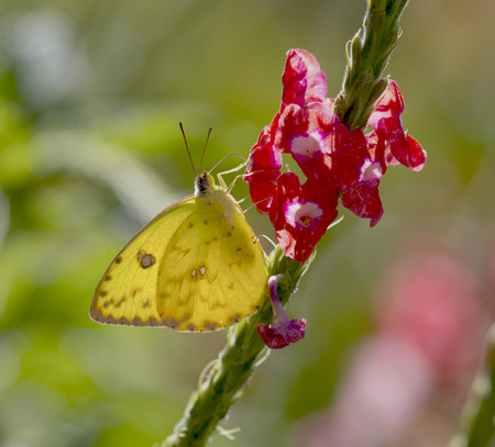 sulfur: Cloudless Sulfur Butterfly eating nectar from a Porterweed Flower
