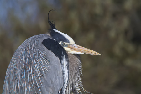 great blue heron: Portrait of a Great Blue Heron with the wind blowing his tassle Stock Photo