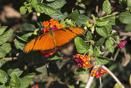 dione: Juno Longwing Butterfly, Dione Juno eating nectar from a butterfly bush