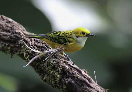 perched: Silver-throated Tanager perched on a branch