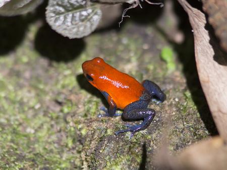 poison dart frog: Blue Jeans, Poison Dart Frog