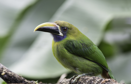 Emerald Toucanet perched on a branch