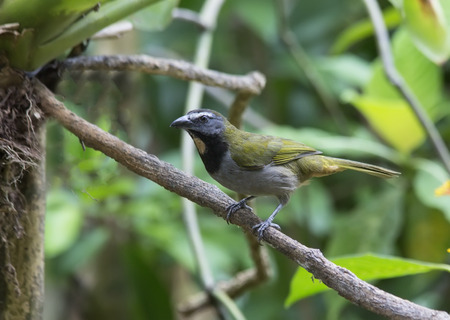 Buff-throated Saltator perched on a branch