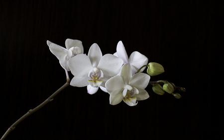 other keywords: Miniature White Orchids on black background