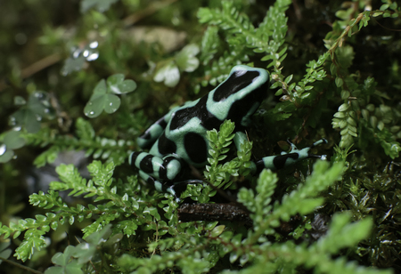 poison dart frogs: Black and Green Army Poison Dart Frog in the foilage