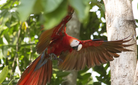 Scarlet Macaw with wings spread wide Stock Photo