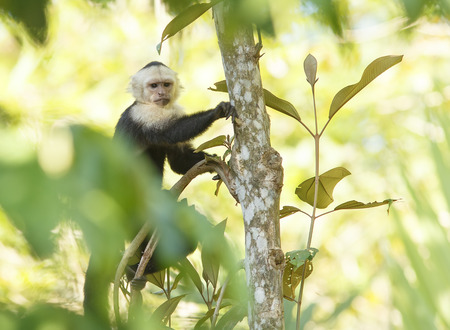 Capuchin White Faced Monkey in the jungle Stock Photo