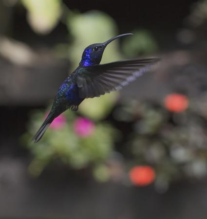 Violet Sabrewing Hummingbird in flight