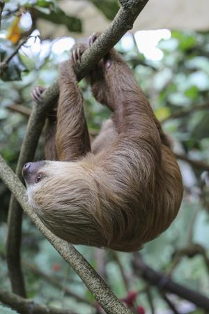 oso perezoso: Perezoso de dos dedos colgando de una rama Foto de archivo