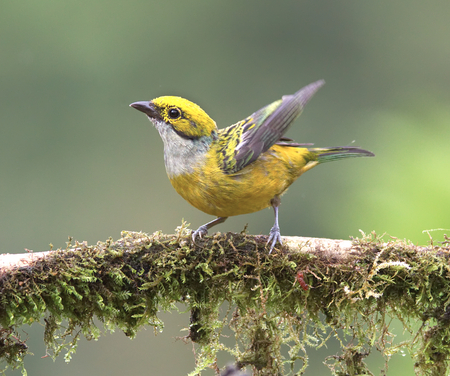 Silver-throated Tanager on a mossy branch with wings spread