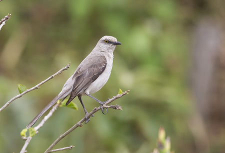 Tropical Mockingbird perched on a branch