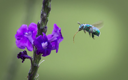 Blue-green Bee hovering for nectar Stock Photo
