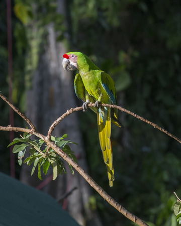 Great Green Macaw perched on a branch
