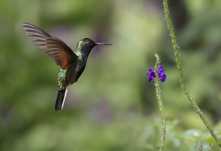 Black-bellied Hummingbird in flight eating nectar