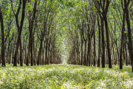 deepness: Tree tunnel, The romantic tunnel of rubber trees.