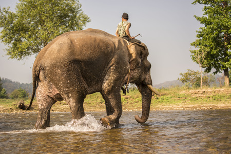 Elephant bathing in the river after the completion of training elephants. Stock Photo