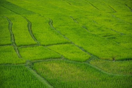 Green rice field in Chiang Mai Thailand, Rice fields at Ban Pa Phong Pieng Chiang Mai Thailand.  Stockfoto